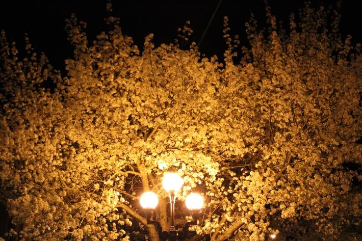 AlmondBlossom_2