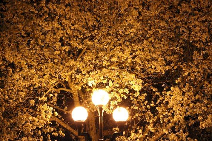 AlmondBlossom_4